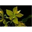 Muda De Orquídea Cycnhoches Lehmanii X Herrenhusanum