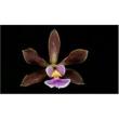 Muda de Orquídea Encyclia Chapadensis