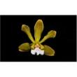 Muda de Orquídea Encyclia Tocantinensis
