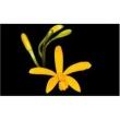 Muda de Orquídea Laelia Bahiensis
