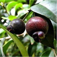 Sementes de Couve - Brocolis Piracicaba Precoce Peletizada Lata 3000 unidades - Isla